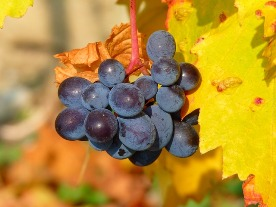 Weintrauben pixabay 2 grape-11775 640